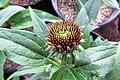 Echinacea hybrida Cheyenne Spirit - 6696.jpg