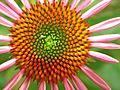 Echinachia- Cone flower (321182205).jpg