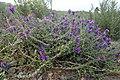 Echium plantagineum kz8.jpg