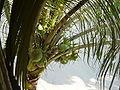 Ecuador Coconuts.JPG