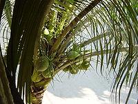 Ecuador Coconuts