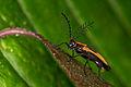 Ecuadorian firefly (14729937575).jpg