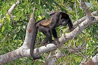 Ecuadorian mantled howler subspecies of mammal