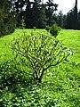 Edgeworthia chrysantha.jpg