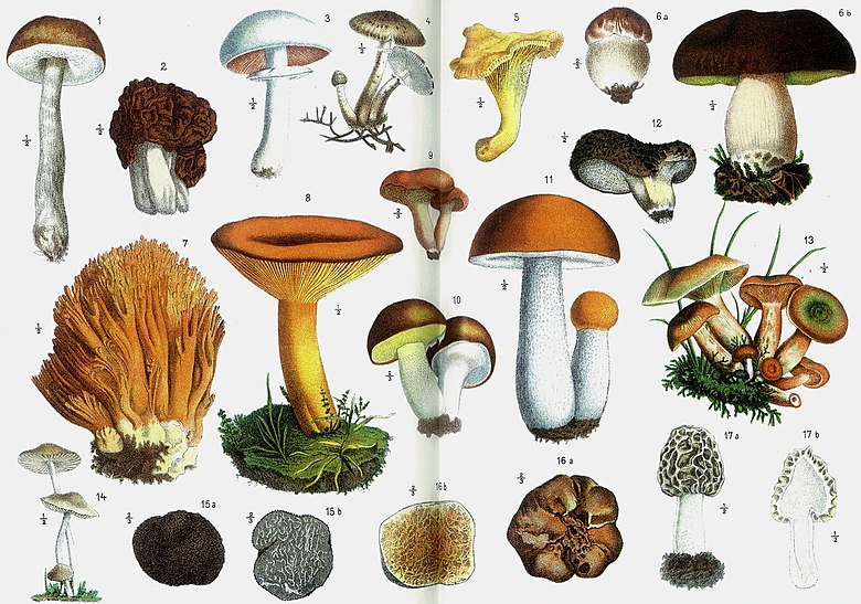 Edible mushrooms, Otto's Encyclopedia.jpg