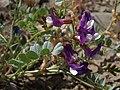 Egg milkvetch, Astragalus oophorus var. oophorus (35454759072).jpg