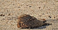 Egyptian nightjar by irvin calicut DSCN3202.JPG