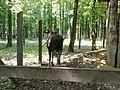 Elch im Wildpark - panoramio.jpg