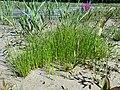 Eleocharis mamillata subsp. mamillata sl39.jpg