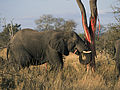 Elephants eating (Loxodonta Africana) (Kruger National Park, 2002) 01.jpg