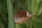 Elymnias caudata-Kadavoor-2016-06-14-001.jpg