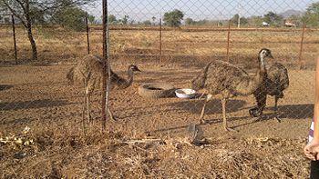 Emu farm (India).jpg