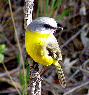 Eopsaltria - Eastern yellow robin,  Australian National Botanic Gardens