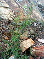 Epilobium anagallidifolium Habitus ValledeAlcudia.jpg