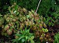 Epimedium x versicolor sulphureum - Flickr - peganum (1).jpg