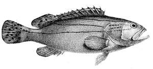 Epinephelus latifasciatus - Image: Epinephelus latifasciatus