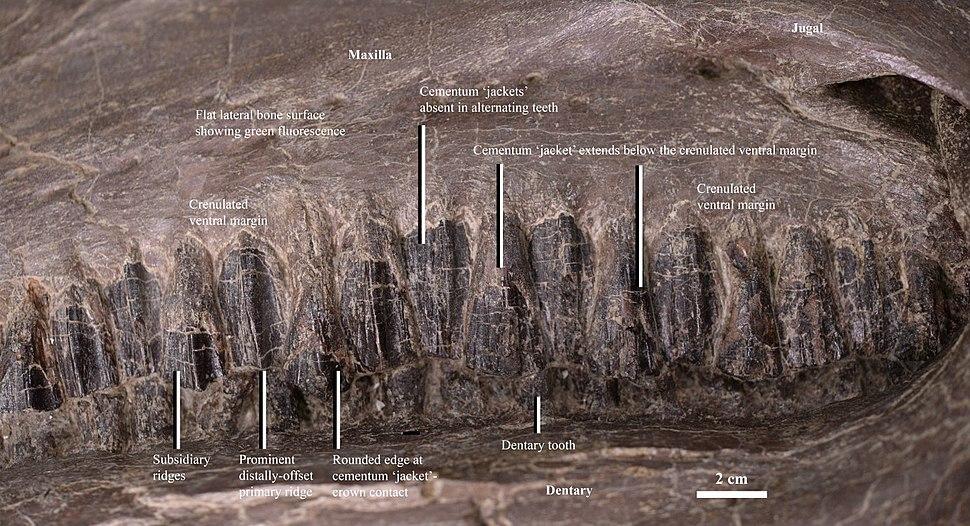 Equijubus maxilla