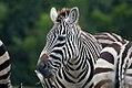 Equus quagga boehmi 10zz.jpg