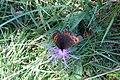 Erebia ligea (Heit. See) (24617098026).jpg
