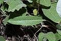 Eriogonum umbellatum 7291.JPG