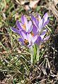 Erste Pollenspender (12714605533).jpg