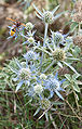 Eryngium maritimum plavi kotrljan 0809 1.jpg