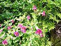 Erythranthe lewisii (formerly Mimulus lewisii) (Lewis' monkeyflower) - Flickr - brewbooks.jpg