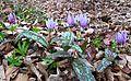 Erythronium dens-canis in national natural monument Mednik (08).jpg