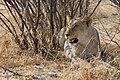 Etosha panthera leo.jpg