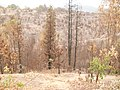 Eucaliptus cerca del Centro Ceremonial Mapuche - panoramio.jpg