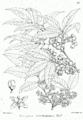 Euonymus hamiltonianus Bra16.png