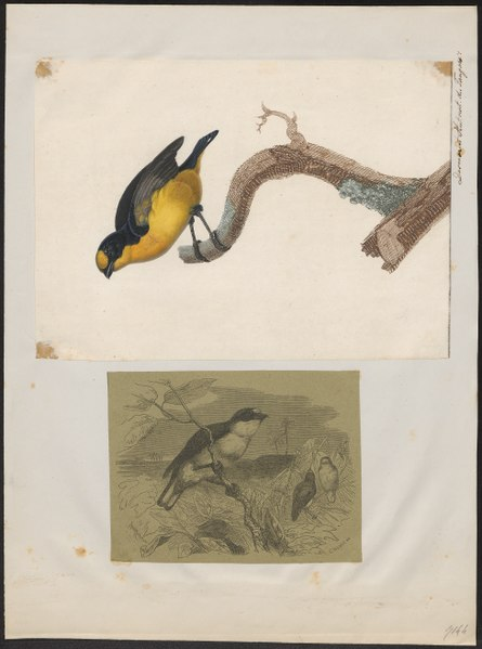 File:Euphonia violacea - 1700-1880 - Print - Iconographia Zoologica - Special Collections University of Amsterdam - UBA01 IZ15900425.tif