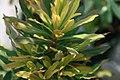Euphorbia amygdaloides Golden Glory 1zz.jpg