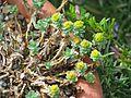 Euphorbia capitulata - Flickr - peganum.jpg