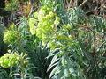 Euphorbia characias15.jpg