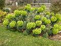 Euphorbia characias subsp. wulfenii in Jardin des Plantes 11.JPG