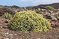 Euphorbia lamarckii 002.jpg