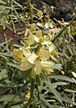 Euphorbia lamarckii 003.jpg