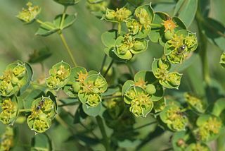 <i>Euphorbia virgata</i> species of plant