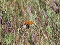 Euphydryas aurinia - Lavandula 20120408a.jpg