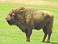 European Bison (Bos bonasus) at Valea Zimbrului reserve (40046720290).jpg