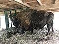 European Bison at Padurea Domneasca.jpg
