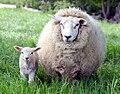 Ewe and lamb in Kent.jpg