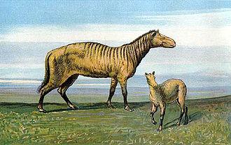 Equidae - Protorohippus