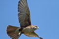 Falco berigora -Phillip Island, Victoria, Australia -flying-8.jpg