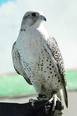 الشمالى الطبيعية 250px-Falco_rusticol