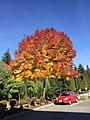 Fall colours on a tree, September 25 2018.jpeg