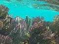 Fan Corals Belize Barrier Reef.jpg