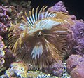 Featherduster worm (Sabellastarte spectabilis), Waikiki Aquarium.JPG