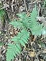 Felce pianta perenne presente nel Parco del Monte Barro.jpg